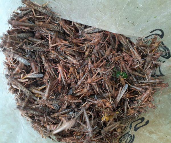 प्युठान स्याउलीवाङमा किसानले पक्रिए २० क्विन्टल सलह