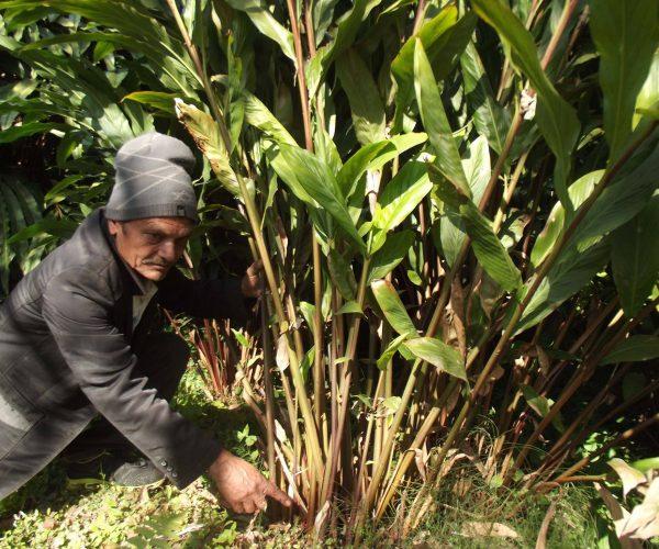 प्यूठानको गौमुखी गाउँपालिकामा फस्टाउँदै अलैची खेती